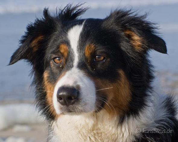 Australian Sheperd - (Hund, Hunderasse)