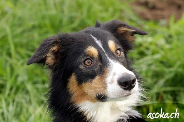 Border Collie - (Hund, Hunderasse)