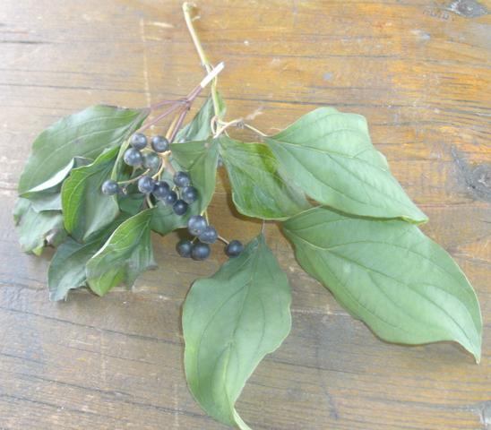 Holunderbeere? - (Garten, Pflanzen, giftig)