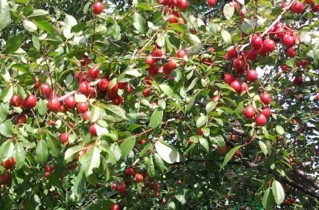 Kirschast - (Garten, Kirschen, Pflaumen)