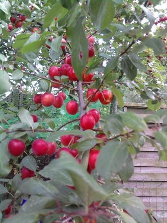 Kirschen - (Garten, Kirschen, Pflaumen)