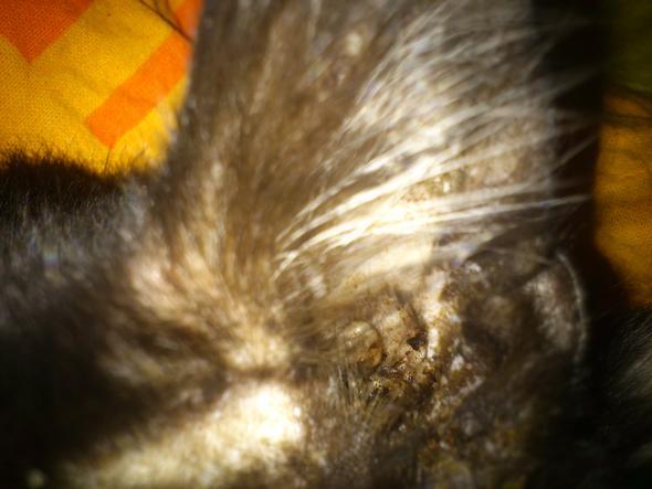 Katzenmilben