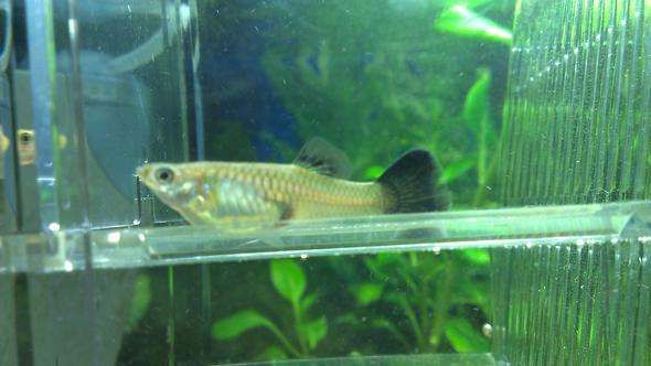 Guppy 1 - (Fische, guppy)