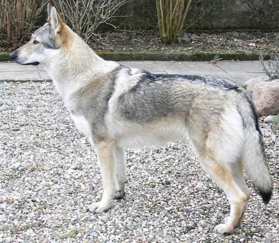 Sind die Welpen die bei einer Kreuzung aus einem Hund und einem Wolf entstehen eigentlich Hunde oder Wölfe?