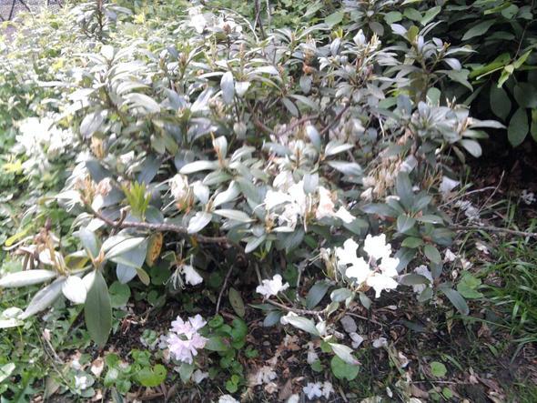 Engel2 - (Pflanzen, Blumen, nachtschattengewaechse)