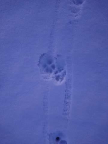 Sind diese Pfoten-Abdrücke im schnee von einem Fuchs?