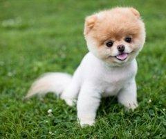 Sind Diese Teddybär Hunde Qualzuchten Hund Qualzucht