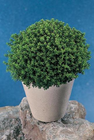 sind hebe mix green boys strauchveronika winterhart pflanzen. Black Bedroom Furniture Sets. Home Design Ideas