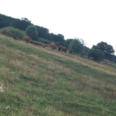 Die Kühe  - (Gefahr, Kuh)