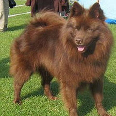 Sind schoko braune Spitzhunde änlich wie blue merle oder so?