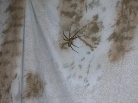 - (Spinnen, Arachnoiden)