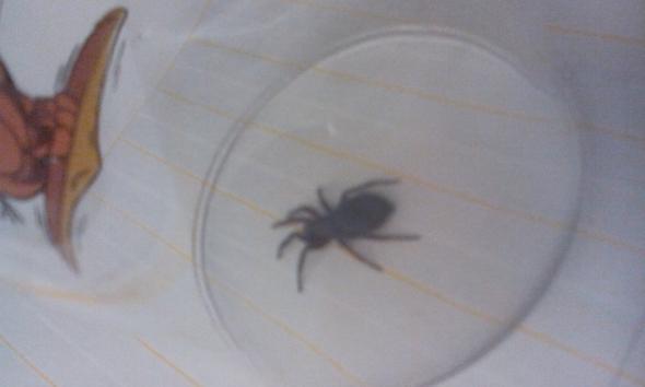 Spinne gefunden - doch was für eine?