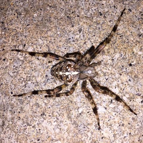 Spinne  - (Spinnen, Spinne, Spinnentiere)