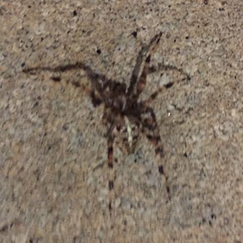 Spinnen - (Spinnen, Spinne, Spinnentiere)