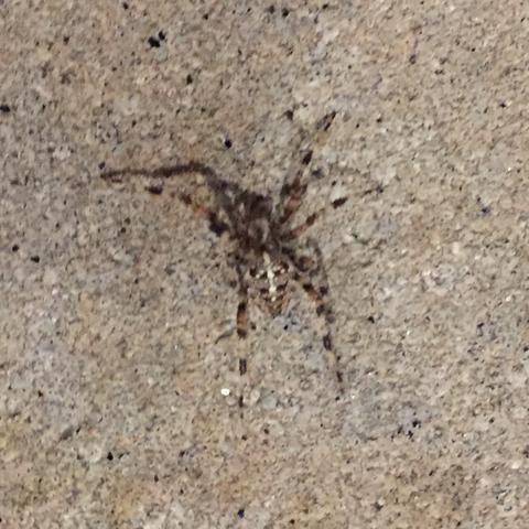 Krabbeltiete - (Spinnen, Spinne, Spinnentiere)