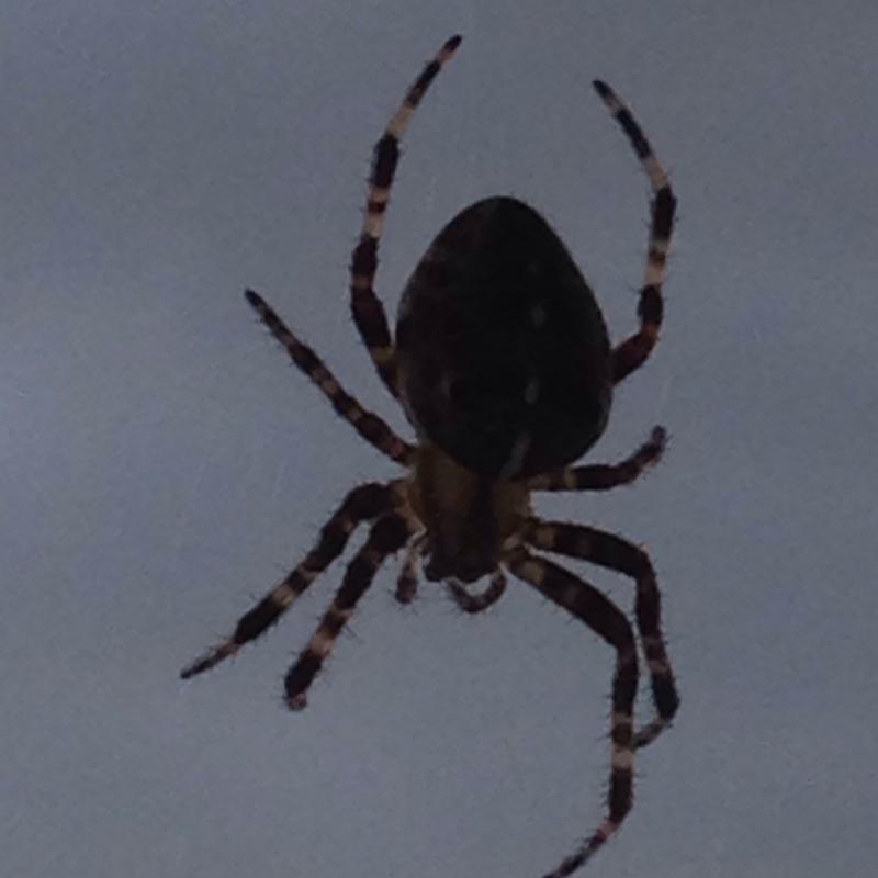 spinne giftig taucht immer wieder auf spinnen spinnennetz. Black Bedroom Furniture Sets. Home Design Ideas