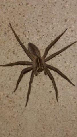 Hilfe ist sie giftig?? - (Spinne, giftig, Spinnenart)