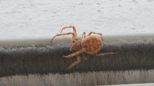 Spinne - (Spinnen, gefährlich)