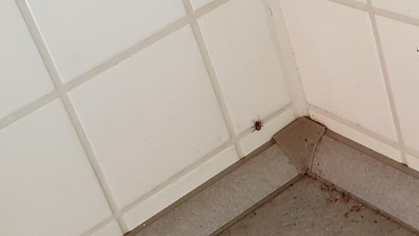 Nahaufname - (Spinne, Grosser rücken)