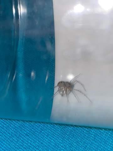 Spinne trägt Kugel?