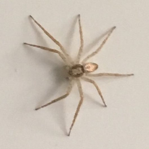 Ca so groß wie ein 5 Cent Stück  - (Spinnen, Spinne, Spinnenart)