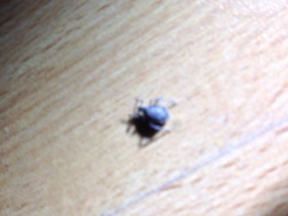 spinnenartige insekten im tannenbaum ungeziefer. Black Bedroom Furniture Sets. Home Design Ideas