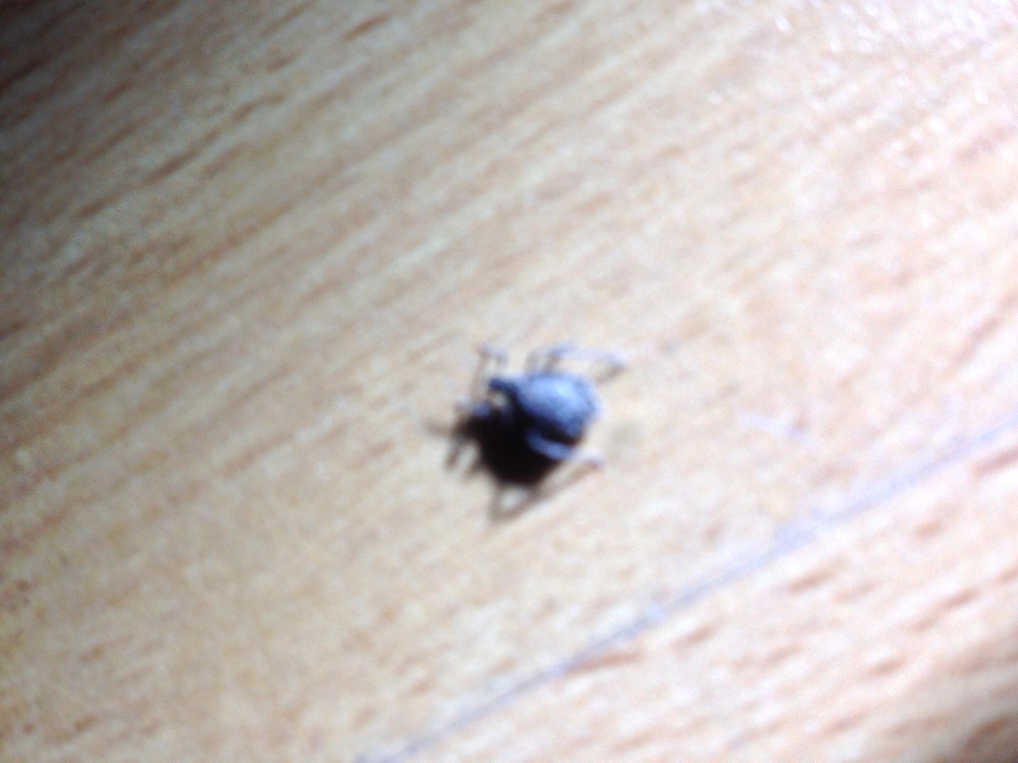 Spinnenartige Insekten im Tannenbaum?! (Ungeziefer)