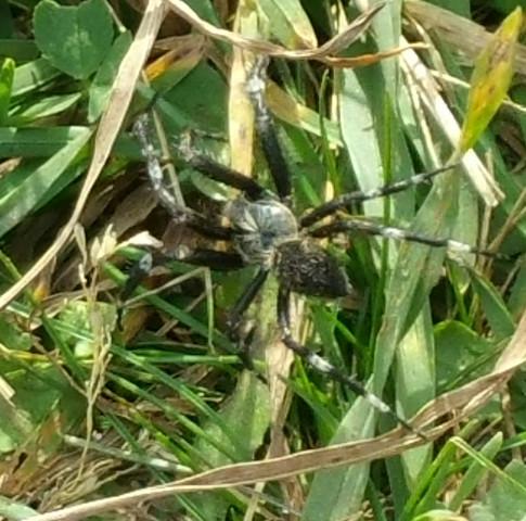 Schwarz weiss - (Spinne, giftig, woher kommt sie)