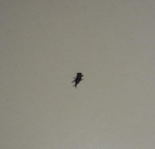Stechender Käferwanze Was Ist Das Insekten Stechen