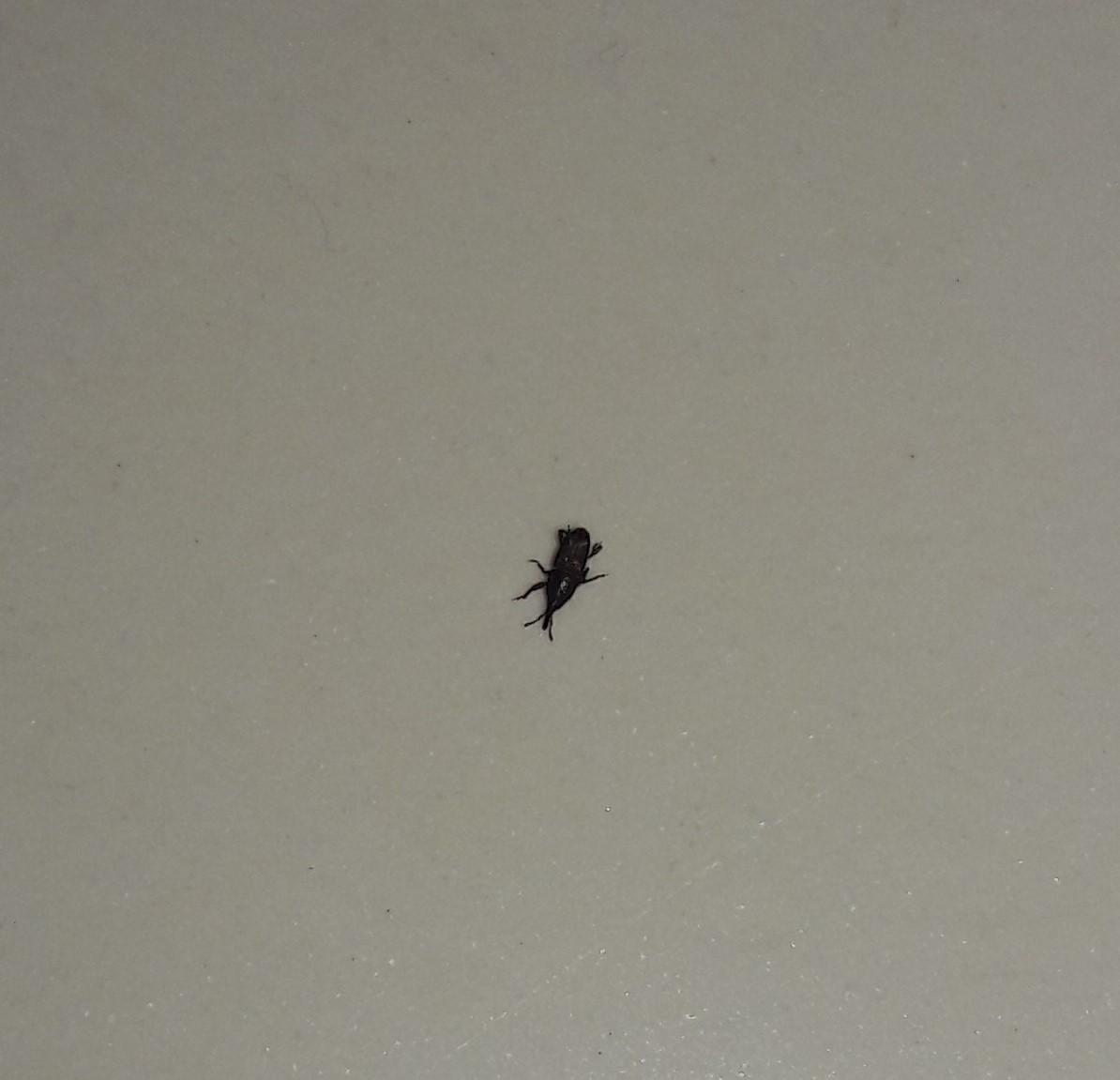 stechender k fer wanze was ist das insekten stechen. Black Bedroom Furniture Sets. Home Design Ideas