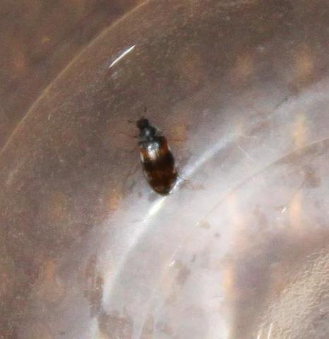 wanzen im bett bilder, stiche/bisse im bett flöhe? bettwanzen? (mit bild) (insekten, Design ideen
