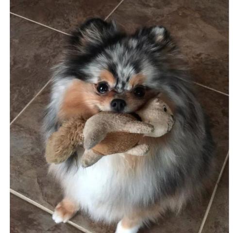 stimmt es dass Zwergspitz Hunde zu schwierig sind für Anfänger?