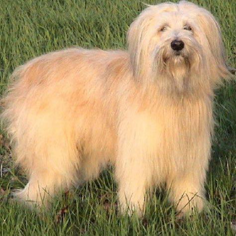 Schafpudel  - (Hund, Fell)