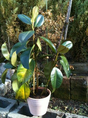 Mein Gummibaum - (Pflanzen, Gummibaum)