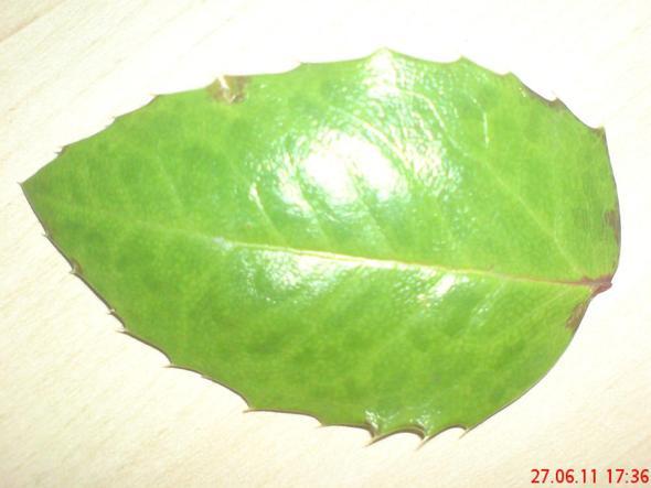 Sträucher Bestimmung Herbarium Hilfe
