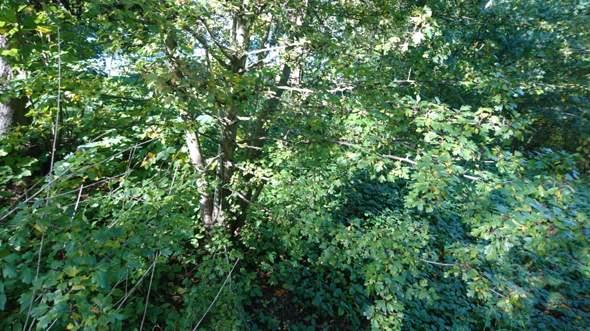 Strauch/Baum mit gezackten Blättern?