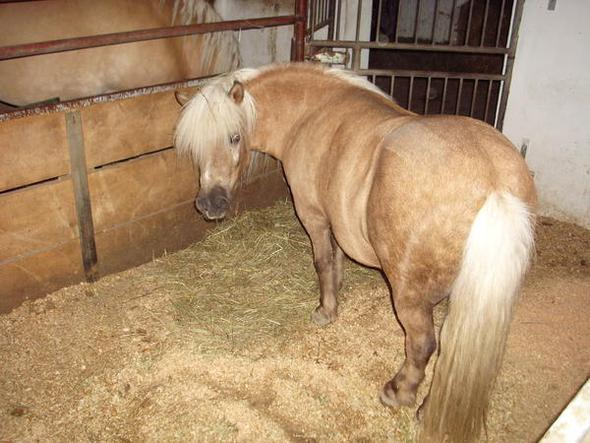 Der Wallach: Jumper/9 Jahre/1,06cm groß - (kaufen, Pferde, Reiten)