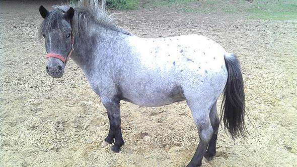 Die Stute: Little Lady/11 Jahre/1,12m groß - (kaufen, Pferde, Reiten)