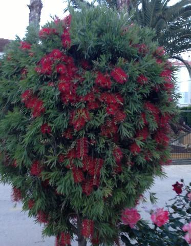Callisterum - (Pflanzen, Pflege, Spanien)