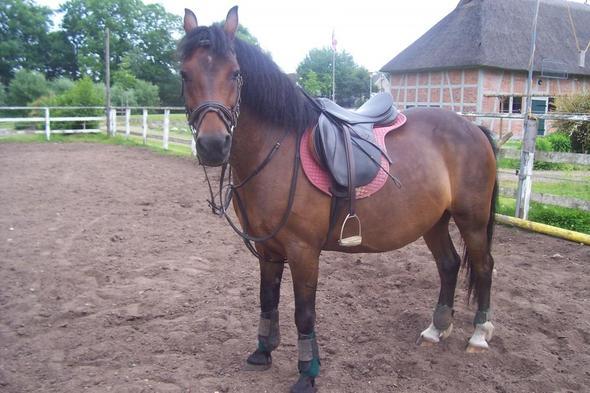 Standbild - (Pferde, braun, Reitsport)
