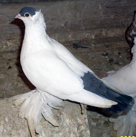So sieht sie aus ... - (Tauben, Taubenzucht, Taubenrassen)