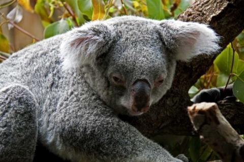 Koala - (Tiere, Geschenk, Zoo)