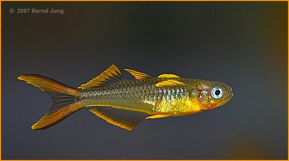 Pseudomugli furcatus Männchen - (Tiere, Versand, Fische)