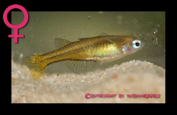 Pseudomugli furcatus Weibchen - (Tiere, Versand, Fische)