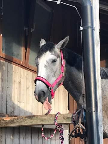 - (Pferde, Reiten, trense)