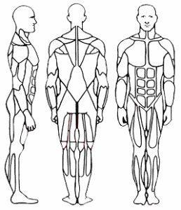 Muskelgruppen - (vektoren, Muskelgruppen)