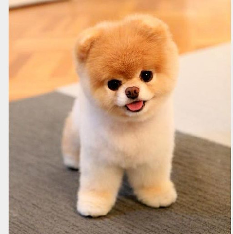Cutest Dog In The World Boo Toy