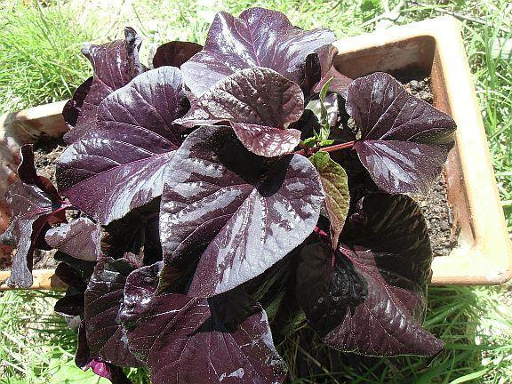 """Ipomoea Batatas """"Blackie"""" - (essbar, Süßkartoffel)"""