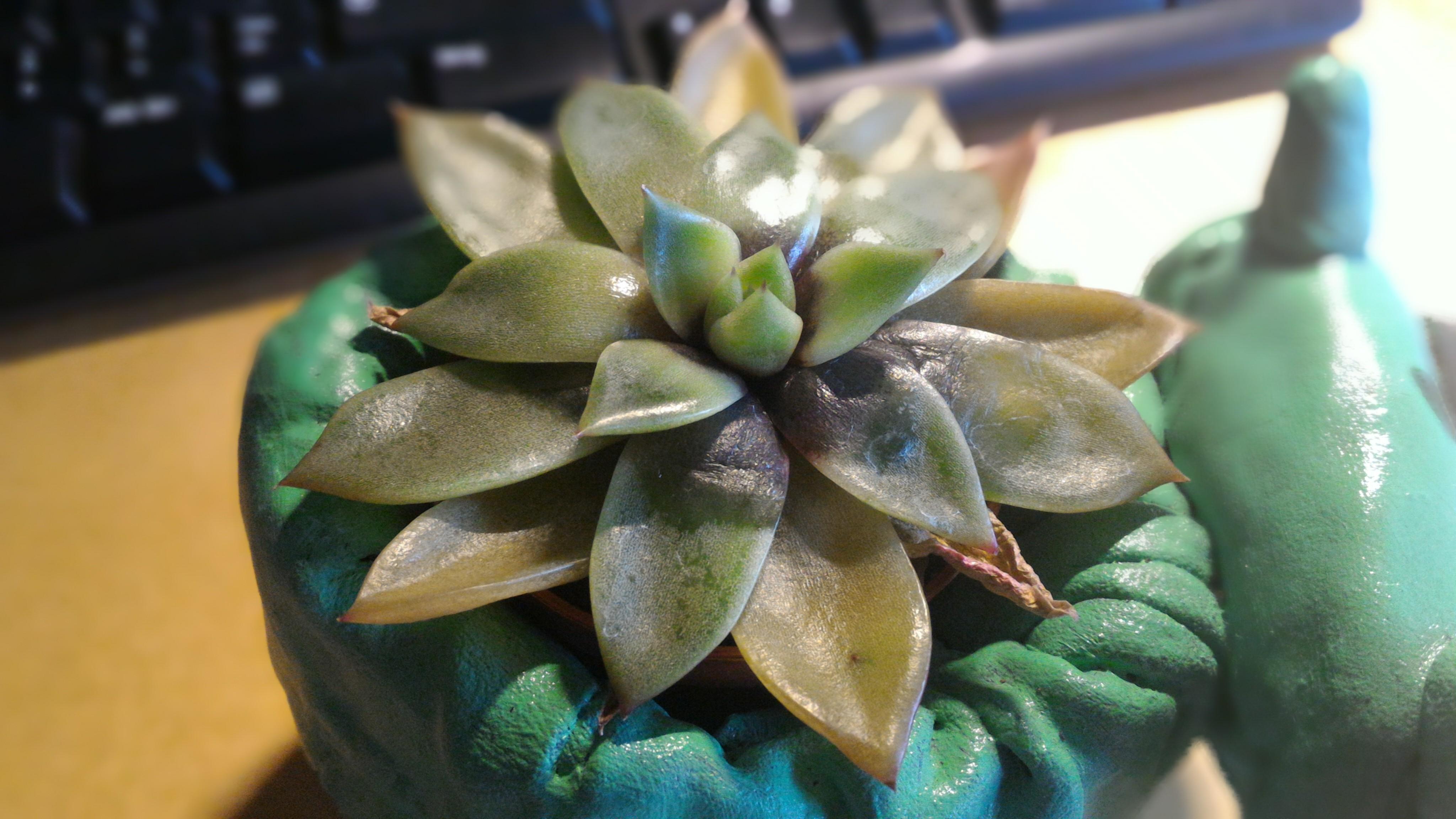 Sukkulente hat dunkle, matschig Blätter bekommen Wie kann ich sie retten? (Pflanzen, Sukkulenten) ~ 24203331_Sukkulenten Bekommen Gelbe Blätter