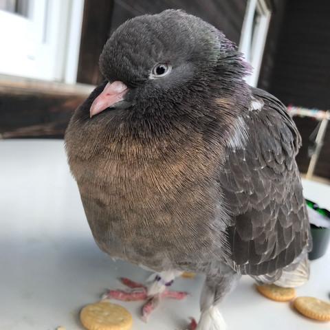 ..... - (Tiere, Vögel, Tauben)
